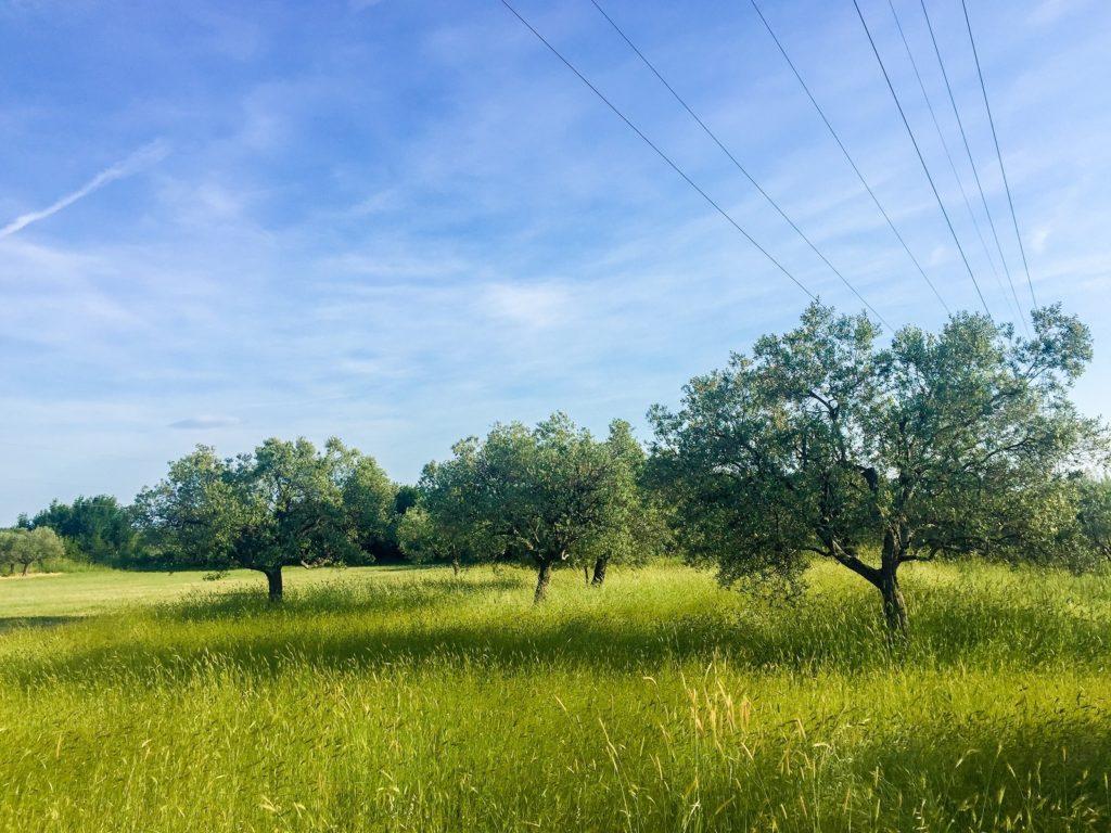 Olive trees in Istria, Croatia