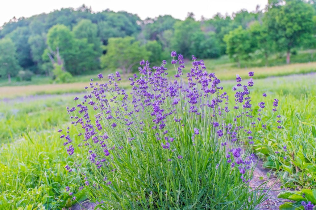 Lavender at Lavenlair farm in New York State's Lake George area.