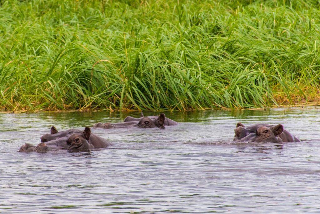 Hippos in the Caprivi Strip in the Cubango River